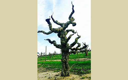 Aging Gracefully: The Quality of Old Vines